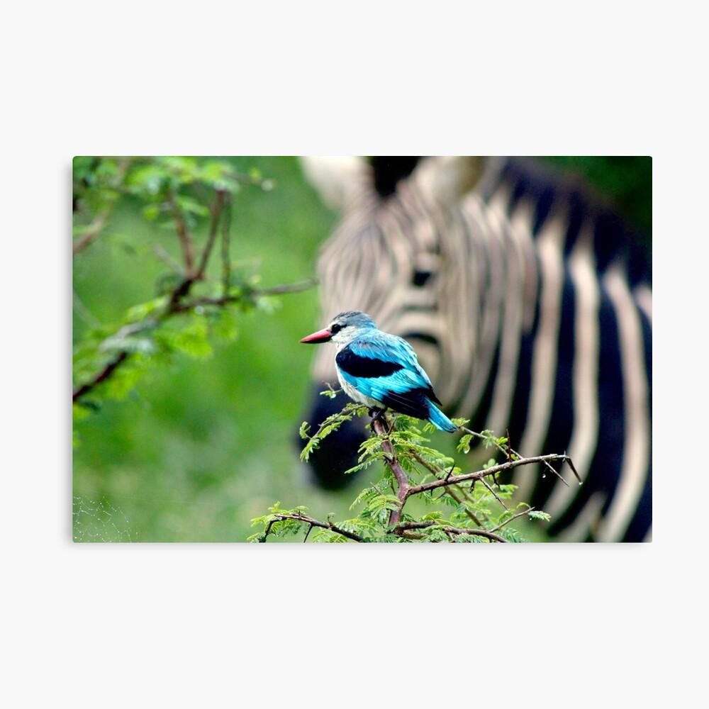 Kingfisher and Zebra canvas print